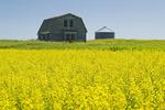 old house next to canola field, near Swift Current, Saskatchewan, Canada