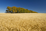 maturing wheat field with shelterbelt in the background,  near Central Butte, Saskatchewan, Canada