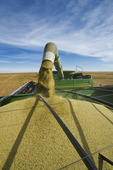 a combine unloads into a grain wagon during the lentil harvest, near Congress,  Saskatchewan, Canada