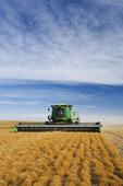 lentil harvest near Congress,  Saskatchewan, Canada