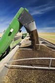 a grain wagon unloads canola into a farm truck, near Kamsack, Saskatchewan, Canada