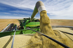 a combine unloads into a grain wagon during the lentil harvest, near Congress,  Saskatchewan, Canada