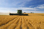 lentil harvest near Congress,  Saskatchewan, Canada