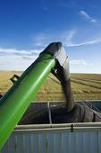 a grain wagon empties into a farm truck during the canola harvest, near Hodgeville, Saskatchewan, Canada