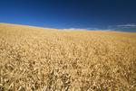 mature, harvest ready dry pea field near Swift Current,  Saskatchewan, Canada