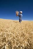 a man in a mature, harvest ready dry pea field near Swift Current,  Saskatchewan, Canada