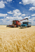 a combine augers barley into a farm truck parked next to a wheat field, during the harvest, near Dugald, Manitoba, Canada