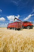 a combine augers barley into a farm truck parked next to a wheat field, durung the harvest, near Dugald, Manitoba, Canada