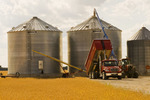 harvested barley is augered into a grain bin, wheat field in the foreground, near Dugald, Manitoba, Canada