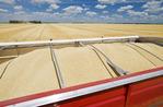 barley in farm truck guring the harvest, near Dugald, Manitoba, Canada