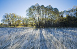 frost covered trees in shelter belt, near Oakbank, Manitoba, Canada