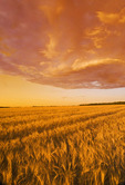 a field of harvest ready wheat  near Niverville, Manitoba, Canada
