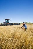 a farmer, with his swather in the background checks his mature wheat crop, near Dugald, Manitoba, Canada