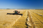 swathing mature spring wheat, near Dugald, Manitoba, Canada