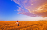 a man looks out over a field of harvest ready wheat  near Niverville, Manitoba, Canada