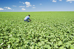 a man scouts an early growth canola, Tiger Hills, Manitoba, Canada