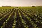 a field of early growth feed/grain corn stretches to the horizon,  near Dugald, Manitoba, Canada