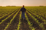a farmer scouts a field of early growth feed/grain corn that stretches to the horizon,  near Dugald, Manitoba, Canada