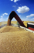 loading grain truck with spring wheat during harvest, Tiger Hills, Manitoba, Canada
