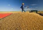 closeup of spring wheat with an out of focus man holding a shovel  standing in a grain wagon during the harvest, near Dugald, Manitoba, Canada