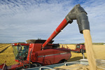 a combine empties oats into a farm truck during the harvest near Dugald,  Manitoba, Canada