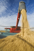 a farmer empties his combine while harvesting his  oat crop near Dugald,  Manitoba, Canada