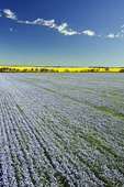 flowering flax field with canola in the background, Tiger Hills near Somerset, Manitoba, Canada
