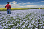 a man looks out over a flowering flax field with canola in the background, Tiger Hills near Somerset, Manitoba, Canada