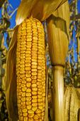 feed corn near La Salle, Manitoba, Canada