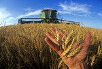 a farmer holds mature heads of winter wheat during the harvest, near Winkler, Manitoba, Canada