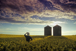 bloom stage canola field with grain bins in the background, Tiger Hills, Manitoba, Canada