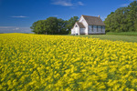 wind-blown bloom stage canola field with old church in the background, Tiger Hills, Manitoba, Canada