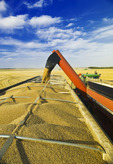 a grain wagon empties into a farm truck, spring wheat harvest near Somerset, Manitoba, Canada