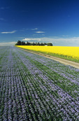 road through flowering flax and canola fields, Tiger Hills near Somerset, Manitoba, Canada
