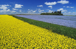 flowering canola field with flax in the background and a sky filled with cumulus clouds, Tiger Hills near Somerset, Manitoba, Canada
