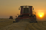 two combine harvesters work a field ofswathed spring wheat,  near Dugald, Manitoba, Canada