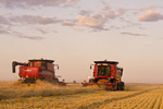 two combine harvesters work a field of swathed spring wheat with a swather cutting in the background, near Dugald, Manitoba, Canada