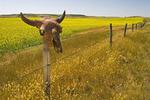 old buffalo skull on fence with mustard field in the background, near Coronach, Saskatchewan, Canada