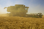 a combine harvester works a field of winter wheat under very dusty, windy conditions,  near Nesbitt, Manitoba, Canada