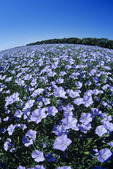 wide angle view of a flowering flax field near Roland, Manitoba, Canada