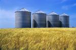 maturing winter wheat field with grain storage bins, Carey, Manitoba, Canada (property released)