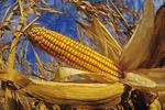 mature grain corn, Oakbank, Manitoba, Canada