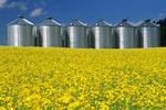 flowering canola with grain storage bins(silos) in the background, near Somerset, Manitoba, Canada