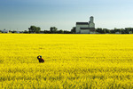 man in canola field with grain elevator in the background, Kane, Manitoba, Canada