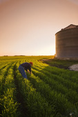 a man scouts an early growth wheat field near Dugald, Manitoba, Canada