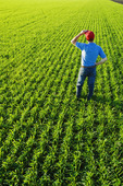 a man scouts an early growth wheat field near Holland, Manitoba, Canada