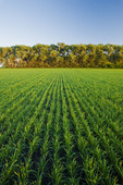 early growth wheat field, Tiger Hills, Manitoba, Canada