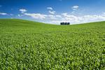 early growth wheat field near Holland, Manitoba, Canada