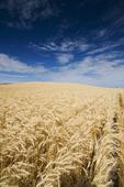 a mature harvest ready wheat field near Bruxelles, Manitoba, Canada