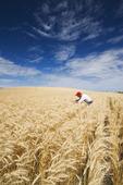 a man checks a mature harvest ready wheat field near Bruxelles, Manitoba, Canada